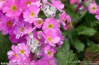 吸毒草提取物  柠檬香蜂草  蜜蜂花粉 大量库存 10:1