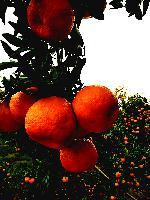 湖北椪柑产地大量供货