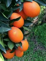 长虹脐橙批发多少钱一斤