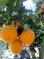 夏橙批发多少钱一斤