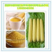 熟玉米粉 宁夏有机玉米熟粉 玉米珍熟化粉 低温烘焙 低聚果糖