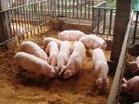 育肥猪快速催肥 优农康猪饲料添加剂促生长