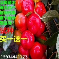 鈣果樹苗的種植方法