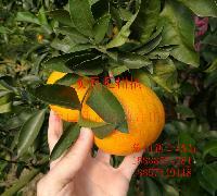 明日见柑橘苗接穗