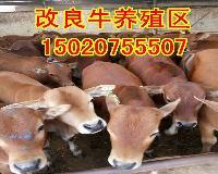 西门塔尔肉牛犊