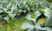 品有機花菜 新鮮蔬菜500g
