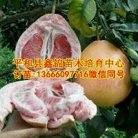 正宗红肉蜜柚苗哪家好|柚子苗哪个品种比较好