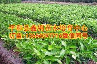 三红蜜柚苗哪里买正宗 求推荐平和县靠谱柚子苗苗圃