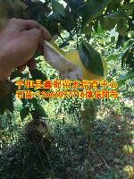 葡萄柚苗价格|台湾葡萄柚苗哪里有批发