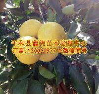 红宝石葡萄柚苗正宗/台湾红宝石葡萄柚树苗基地