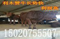 西门塔尔公牛价格