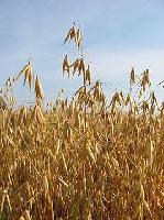 供应大麦多肽98%  1公斤起订  批发价格   沃特莱斯包邮