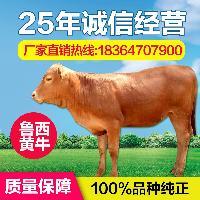 鲁西黄牛犊价格