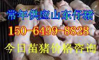 今日江苏猪崽价格,小猪苗价格