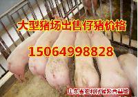 15公斤仔猪价格山东猪苗价格