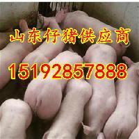 山东猪苗收购价格 今年猪苗批发价格