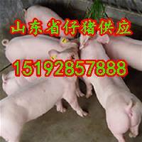 山东仔猪价格 山东省仔猪收购价格