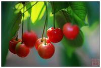 现货供应针叶樱桃提取物