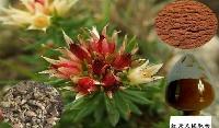 红景天提取物 3%红景天甙  *红景天萃取粉 浓缩粉