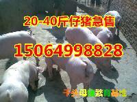 山东仔猪基地提供*的小猪崽价格