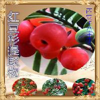 红豆杉提取物厂家生产红豆杉水溶粉