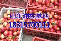 总结2018年今日油桃价格行情 油桃批发价格哪里便宜?