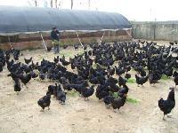 黑羽绿壳蛋鸡 厂家直销 各种鸡苗批发 诚信经营 全国包邮