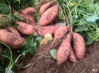 龙薯9号红薯种子种苗优质高产