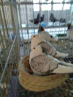 哪里有卖黄色元宝鸽的 丽水哪里有卖元宝鸽燕子仙女观赏鸽