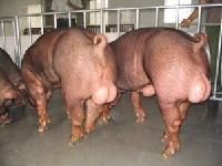 正阳种猪正阳种猪价格