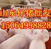 山东仔猪价格低小猪苗