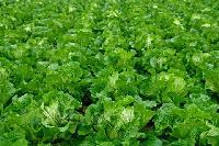 今日大白菜价格最新大白菜批发价格