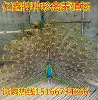 2017孔雀的价格 蓝孔雀标本多少钱一架