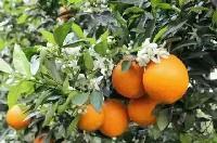 产地直销:秭归脐橙四季供应
