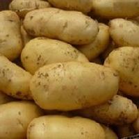 山東冷庫土豆批發價格