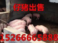 山东猪场出售三元小猪