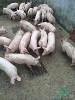 二元母猪多少钱一头二元母猪多少钱一斤