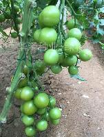 荷兰进口绿宝石小番茄种子 绿色樱桃番茄绿*