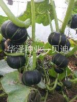 日本进口贝贝南瓜种子墨绿色南瓜种子贝迪