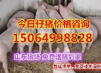 山东*的仔猪交易市场,今日小猪苗价格