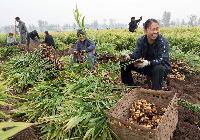2018年小黄姜批发价格 优质产地小黄姜价格