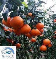 柑橘新品种 优质象山红美人橘苗、蜜桔苗 1年生 根系壮