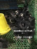 绿壳蛋鸡 五黑鸡 脱温鸡苗长期供应 江西厂家直销 全国包邮