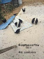 安徽厂家直销各种家禽鸡苗 原生态散养 全国包邮