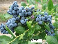批发蓝莓苗、红莓苗、紫莓苗、四季红莓苗等果树苗绿化苗