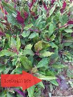 紫背天葵种苗|补血菜种苗|保健美味|营养丰富