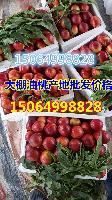山東大棚油桃產地價格詳細報道現在大棚油桃價格
