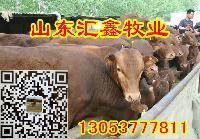 利姆站牛牛犊厂家供应多少钱