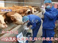 纯种西门塔尔肉牛犊{2-5月龄}赠送技术质量,免费送货