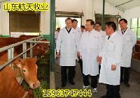 广东小黄牛养殖场鲁西黄牛价格